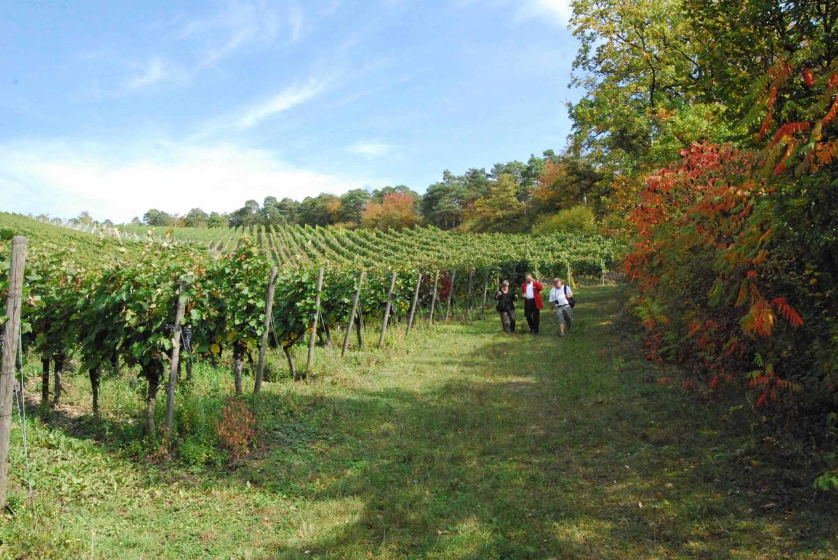 walk in vinyard with winery tour 1024x685