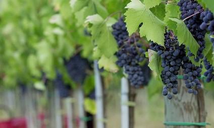 Setembro é mês das festas do vinho – programa de 2015