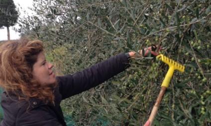 A colheita das azeitonas na Toscana e a produção do azeite